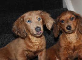 Stunning KC registered pra clear Mini puppies