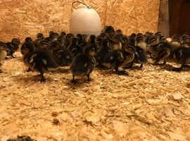 mallard ducks ducklings