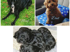 Cockapoo Dogs & Puppies For Sale & Rehome in Coventry | Find