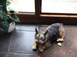 12 month old Male Yorkie X