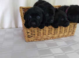 Beautiful KC registered Labrador Puppies - ONLY 1 FEMALE AVAILABLE NOW