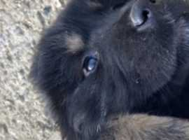 Long Coated Lions Fully Kennel Club registered Tibetan Mastiff Puppies
