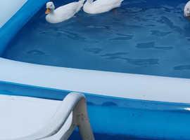 2 call ducks