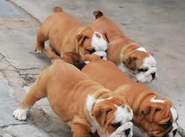 Unique English Bulldog Puppies