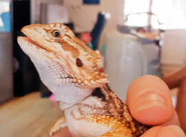 Bearded dragon Red mix norm with 4ft viv