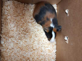 Baby Guinea Pigs For Sale (BOARS)