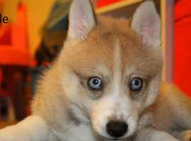 3x Adorable Pomsky puppies for sale