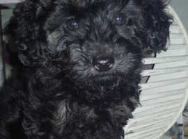 Outstanding Kc female Phantom Toy Poodle