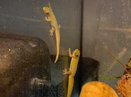 Golden dust day geckos