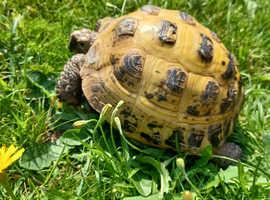 12 year old female Horsefield Tortoise