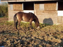 2yr old exmoor colt