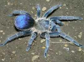 Tarantula spiderlings big list