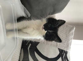Mixed Breed 10 week old Kitten for Sale