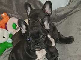 Quality French Bulldog puppy fully vaccinated
