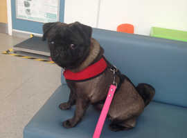 Wanted pug girl older puppy young adult