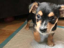 Last 1 Beautiful YorkieRussell puppy