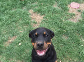 Beautiful KC Registered Pedigree Rottweiler Girl 6 Months Old