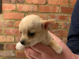 XXS apple head chihuahua puppies for sale
