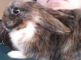 1 Lop x baby girl left -Ready to go to her new homes