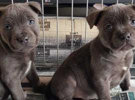 Stunning Blue Staffy Pup Girl.
