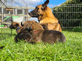 Belgian shepherd(malinois) x German shepherd pups