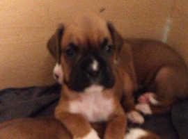Stunning KC Boxer Pups!