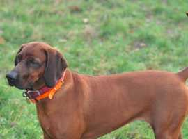 Redbone Coonhound Pups - Very Rare in the UK. Due 15th Sept