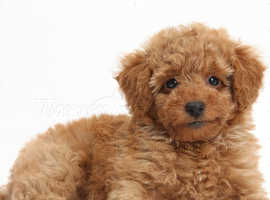WANTED Male Toy Poodle