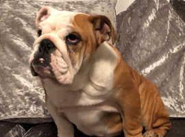 Red and white kc reg bulldog girl