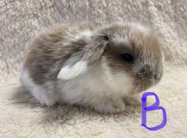 Adorable baby mini lop bunnies ready 2/12