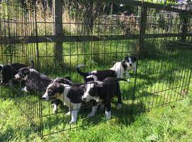 Border Collie Pups, ISDS Registered