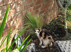 LOST Tortoishell Kitten