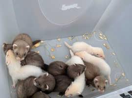 ferret kits ready now