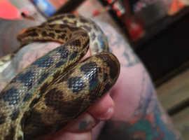 cb2018 female spotted python