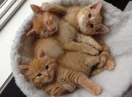 FEMALE GINGER KITTEN WANTED!