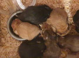 Baby Syrian Hamsters 8 week old