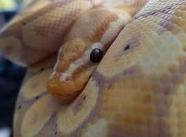 Beautiful Male Banana Pastel Royal Python (ball python)