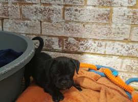 8 week old black male Jug puppy