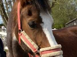 15.1 - 4yo - Welsh Section D - Gelding - Rolo