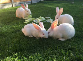 Pure New Zealand Doe white rabbits for sale.