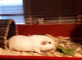 white male guinea pig 1 year old due to selling as i am cutting back £10