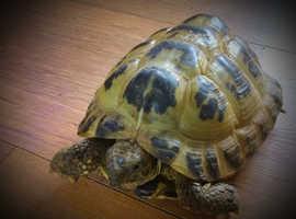 Horsefield adult Tortoise