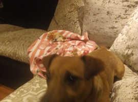Proven stud dog