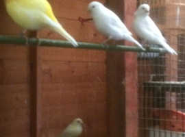 last years male canary for sale 20 pounds