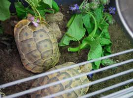 2 Spur thigh tortoises