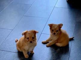 Adorable Pomchi Puppies