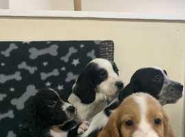 Working cocker spaniel puppies