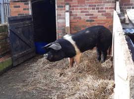 Saddleback boar for stud