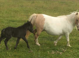Registered Miniature Shetland Mare with Filly Foal