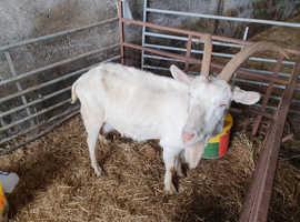goat good Milker for lambs